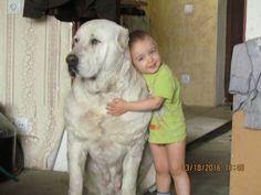 Alabai central Asian dog