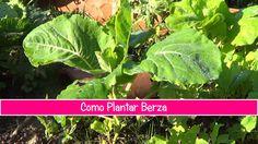 Como Plantar Berza Asturiana