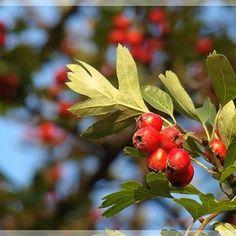 Aloe Vera, Home Remedies, Good To Know, Herbalism, Fruit, Healthy, Travel, Medicine, Remedies
