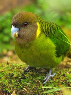 Painted Tiger Parrot	(Psittacella picta) Birdman of Brownsville