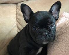 7 Fantastiche Immagini Su Bulldog Francese Nero Hairstyle Ideas