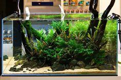 Tropical Fish Aquarium, Tropical Freshwater Fish, Freshwater Aquarium Fish, Aquarium Landscape, Nature Aquarium, Planted Aquarium, Aquascaping, Shrimp Tank, Aquarium Design
