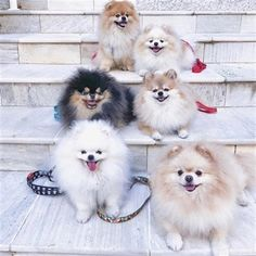 Marvelous Pomeranian Does Your Dog Measure Up and Does It Matter Characteristics. All About Pomeranian Does Your Dog Measure Up and Does It Matter Characteristics. Cute Puppies, Cute Dogs, Puppies Tips, Fluffy Puppies, Jiff Pom, Cavalier King Charles Spaniel, Macho Alfa, Cute Pomeranian, Pomes