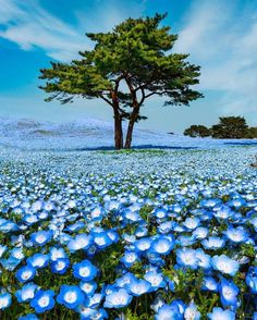 A blanket of Baby Blue Eye flowers 🦋 Kyoto, Japan. Do you wanna see your photos promoted here? Check the link in our bio for instructions: Photo by Tag someone. Photo Japon, Japan Photo, Japan Picture, Hitachi Seaside Park, Neon Led, Bob Ross, Summer Pictures, Insta Photo, Amazing Nature