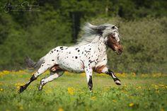 Appaloosa Pony stallion, Amani vom Fasanenschroom.