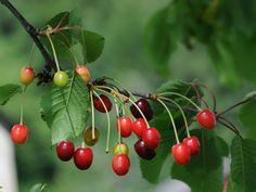 Prunus cerasus, un precioso árbol frutal de jardín - https://www.jardineriaon.com/prunus-cerasus.html #plantas