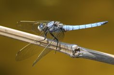 Südlicher Blaupfeil Insects, Display, Photos, Arrow, Blue, Floor Space, Billboard