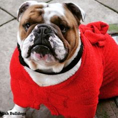 English Bulldog Bentley with his new Dogrobe available from BullTogs