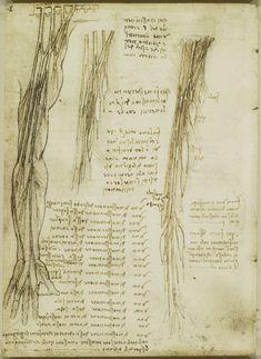 The brachial plexus and nerves of the arm Leonardo da Vinci (Vinci 1452-Amboise 1519) #TuscanyAgriturismoGiratola