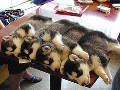 husky cuddles pic.twitter.com/7tnoUT2q8i