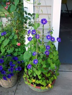 Yes ... I planted the Petunia pot ... but did NOT plant the Morning Glory Pot.  It was sitting empty near the rose bush where a couple Morning Glories showed up last year and evidently seeds dropped into the pot and VIOLA!  A pot of Morning Glories came to life this Spring.