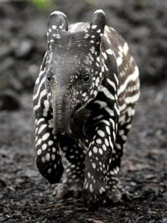 Baby tapir. Tapirs live in South and Central America, and in Southeast Asia.