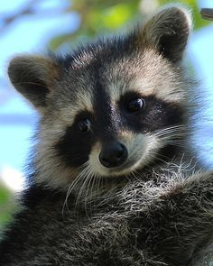 Buy 'Dont I look Cute' by Barry Goble as a Greeting Card. Baby Racoon at Barefoot Beach County Park, Bonita, Florida. Amazing Animals, Animals Beautiful, Mundo Animal, My Animal, Cute Funny Animals, Cute Baby Animals, Nature Animals, Animals And Pets, Exotic Animals