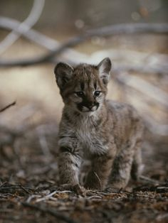 Portrait of an Eight-Week-Old Mountain Lion Kitten Photographic Print by Jim And Jamie Dutcher at Art.com