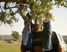 Benedictine Contemplative Nuns picking apples.