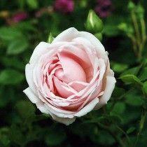 New Dawn ros