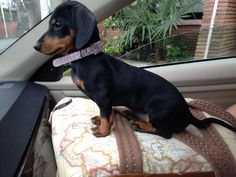 So doxies can see out the car windows...and they aren't digging their nails into their owner's skin to get to the window.