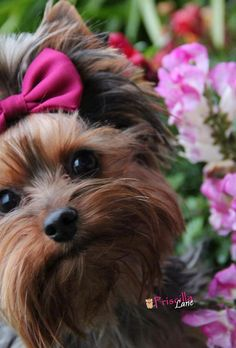 So adorable! Yorkshire Terrier Dogs Puppy Hound Pups Dog Puppies Yorkie