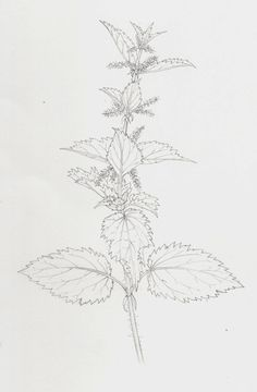 Pencil botanical illustration of the Nettle urtica dioca by Lizzie Harper Natural History Illustrator