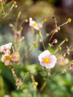 Want one!  Japanese Anemone  Light:Sun,Part Sun  Zones:4-8  Plant Type:Perennial  Plant Height:1-3 feet tall  Plant Width:1-3 feet wide  Flower Color:White, pink, or rose flowers, depending on variety  Bloom Time: Some types bloom in early spring, others in late summer to fall