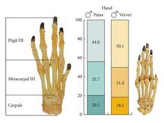 """Patas monkey hand skeleton- """"on left"""" Vervet  """"on right"""""""