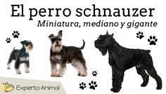 El perro schnauzer - miniatura, mediano y gigante