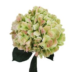 Giant Hydrangea Light Antique Flower - 8 stems for $79.99 on Fifty Flowers