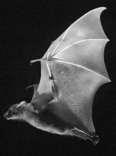 Awesome flying bat in action picture