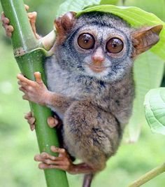 Siau Island tarsier - Humans push half of the world's primates toward extinction