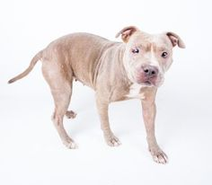 Meet Jewel, an adoptable Pit Bull Terrier looking for a forever home. If you're looking for a new pet to adopt or want information on how to get involved with adoptable pets, Petfinder.com is a great resource.