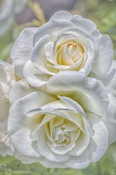 Rose Garden white rose by Jörg Barthel on All Flowers, My Flower, Pretty Flowers, White Flowers, Flower Power, Red Roses, Love Rose, Beautiful Roses, Planting Flowers