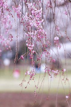 See sakura in Japan