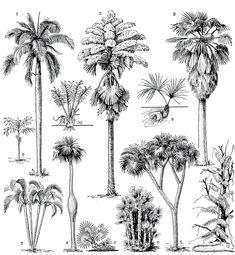 Рис. 231. Формы роста пальм. Древовидные: 1 - кубинская королевская пальма (Roystonea regia); 2 - корифа зонтоносная (Corypha umbraculifera); 3 - вашингтония нитеносная (Washingtonia filifera); 4 - барригона (Colpothrinax wrightii); 5 - гифена фивийская, или дум-пальма (Hyphaene thebaica. Кустарниковидные; 6 - хамедорея ланцетовидная (Chamaedorea lanceolata); 7 - хризалидокарпус желтоватый (Chrysalidocarpus lutescens); 8 - ацелорафа Райта (Acoelorraphe wrightii). 'Бесстебельные': 9…