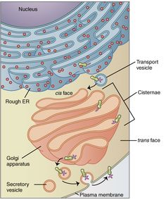 Golgi apparatus - Wikipedia, the free encyclopedia
