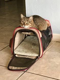 Our little fat cat seeking higher ground in preparation for Irma http://ift.tt/2vJCVq3