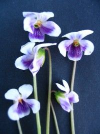 Viola hederaceae - Ground hugging perennial for a moist position with round, green leaves and purple & white violets most of the year.