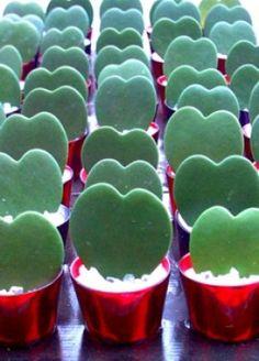 Hoya Kerrii (Lucky Heart Plant) Origin: Thailand