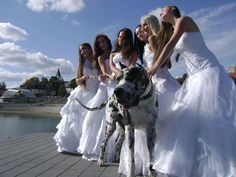 How #adorable such a good looking #boy. #Great #Dane #dog #wedding #bride