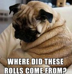 Pizza, Chicken, Treats, 🍗🍕🍬 ⠀ I ❤️ all Pugs with all my ❤️! Double tap ❤❤ Tell a Pug BFF!❤️🐶 ⠀ Find your PUG ❤️ Animal Memes, Funny Animals, Cute Animals, Animals Dog, Cute Pugs, Cute Puppies, Cutest Dogs, Bulldog Puppies, Cute Kittens