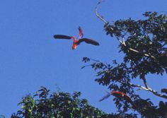 Macaws are everywhere, there are colonies of hundreds near the lodge; they visit daily. We have several varieties in our rainforest.