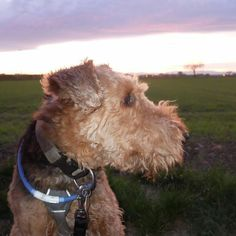Berti at night is still a beautiful sight! #airedale #airedales #airedaleterrier #airedalesofinstagram #terriers #terrierlove #terriersofinstagram #Freiburg #nofilter #dog #dogsarejoy