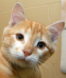 #328 Panda is an adoptable Domestic Short Hair - Orange And White Cat in New Haven, CT. Three-month-old Panda. NO APPOINTMENTS NEEDED. IF YOU ARE INTERESTED IN ADOPTING THIS PET PLEASE VISIT THE SHELT...