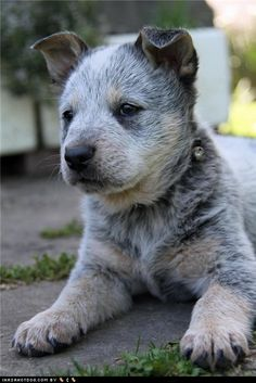Blue Heeler Australian Cattle-Dog Puppy Dogs