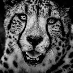 Guépard aux aguets : 20 portraits fascinants de lafauneafricaine - Linternaute
