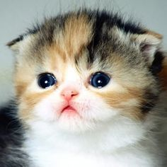 Scottish Fold kitten ^.^