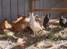 What do chickens eat? Detailed lists and info
