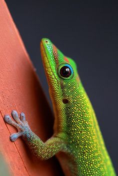 Madagascar Gold Dust Day Gecko - an alien exotic imported into Hawaii