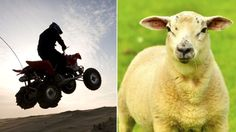 Cotswolds sheep killed by gang on quad bikes - BBC News