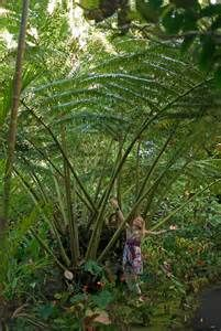 angiopteris evecta king fern - Bing images
