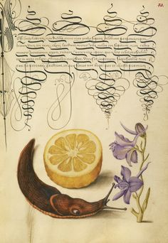 Sour Orange, Terrestrial Mollusk, and Larkspur; Joris Hoefnagel (Flemish / Hungarian, 1542 - 1600), and Georg Bocskay (Hungarian, died 1575); Vienna, Austria; 1561 - 1562; illumination added 1591 - 1596; Watercolors, gold and silver paint, and ink on parchment; Leaf: 16.6 x 12.4 cm (6 9/16 x 4 7/8 in.); Ms. 20, fol. 33